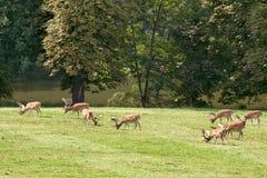 A herd of fallow deer. Grazing herds of fallow deer royalty free stock images