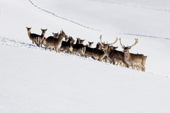 A herd of fallow deer royalty free stock image
