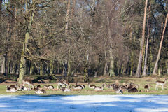 Herd of fallow deer Stock Photos