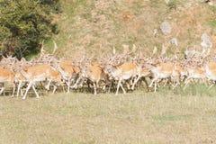 Herd of Fallow Deer (Dama dama) Stock Images
