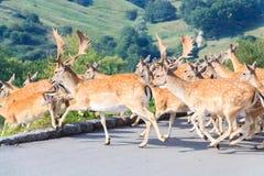 Herd of Fallow Deer (Dama dama) Royalty Free Stock Photo
