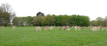 Herd of Fallow Deer / Dama dama grazing on grass in a meadow royalty free stock photography