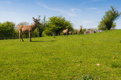 Herd of fallow deer Royalty Free Stock Photos