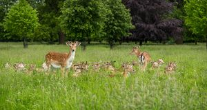 Herd of fallow deer. (Dama dama) taking a rest within the tall grass, whilst one remains watchful Stock Images