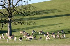Fallow Deer, Dallam Deer Park, Milnthorpe, Cumbria. Herd of Fallow Deer, dama dama, grazing in winter sunshine on a hillside in Dallam Deer Park, Milnthorpe royalty free stock photo