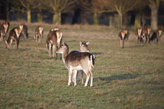 Herd of Fallow deer with fawns in forest landscape Stock Images