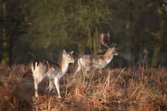 Herd of fallow deer in forest landscape. Fallow deer buck and fawn in Autumn forest Stock Image