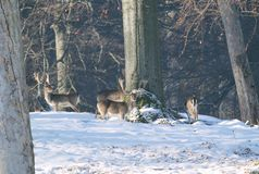 Fallow deer in winter. Herd of fallow deer in the forest in winter royalty free stock image