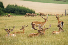 Herd Of Fallow Deer Royalty Free Stock Photo