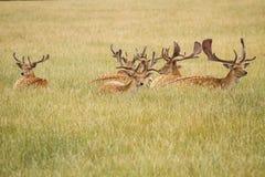 Herd Of Fallow Deer Stock Photo