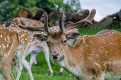 A herd of fallow deer graze in a long grassed meadow royalty free stock photography