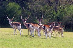 Herd of fallow deer on a meadow. Herd of fallow deer on a pasture, animals looking at camera royalty free stock images