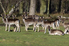 Herd of fallow deer. Resting on a green meadow near the forest in early spring, Germany, Europe stock photography