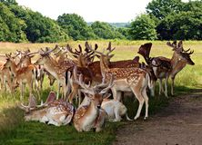 Herd of Fallow Deer in Richmond Park Greater London Uk. Herd of fallow deer standing and lying down , there are male buck deer and female doe deer and young stock photos