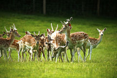 Herd of Fallow deer in the spotted summer coats Stock Photos