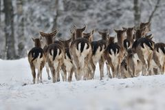 Herd of Fallow deer watching in the white snowy forest in the winter. Snowy forest, wildlife animals, deers Stock Photography