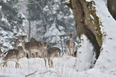Herd of Fallow deer watching in the white snowy forest in the winter. Snowy forest, wildlife animals, deers Royalty Free Stock Photo