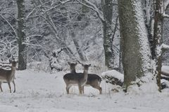 Herd of Fallow deer watching in the white snowy forest in the winter. Snowy forest, wildlife animals, deers Stock Photo