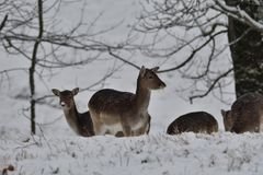 Herd of Fallow deer watching in the white snowy forest in the winter. Snowy forest, wildlife animals, deers Royalty Free Stock Images