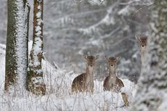 Herd of Fallow deer watching in the white snowy forest in the winter. Snowy forest, wildlife animals, deers Royalty Free Stock Photography