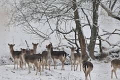 Herd of Fallow deer watching in the white snowy forest in the winter. Snowy forest, wildlife animals, deers Royalty Free Stock Image