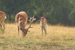 Herd of fallow deers in clearing Stock Photos