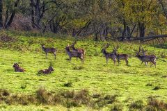 Herd of fallow deers. In forest royalty free stock image