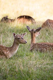 Herd of Fallow Deers lying on Meadow royalty free stock photography
