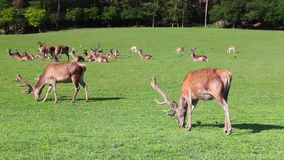 The herd of fallow deers stock footage