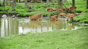 Herd of Fallow Deers stock footage