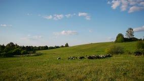 Herd of farm domestic animals grazing on green field stock footage