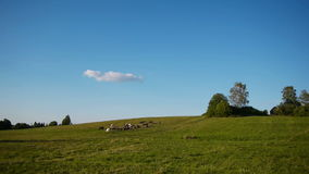 Herd of farm domestic animals grazing on green field stock video footage