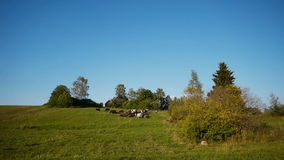Herd of farm domestic animals grazing on green field stock video