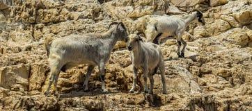 Herd, Fauna, Wildlife, Barbary Sheep stock photos