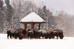 A herd of feeding buffalo Royalty Free Stock Image