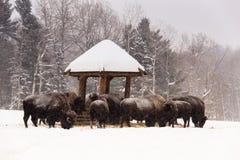 A herd of feeding buffalo Royalty Free Stock Image