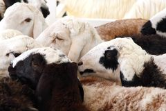 A herd of female Awassi sheeps Stock Photos