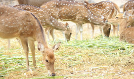 Herd of female deers Stock Image