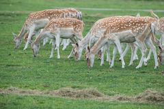 A herd of female deers Royalty Free Stock Images