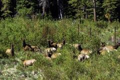 Elk, Cervus canadensis Stock Photo