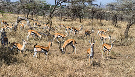 Herd of female impala Royalty Free Stock Images
