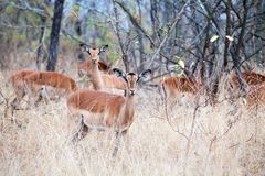 Herd of female impala antelopes on grass, trees and blue sky background close up in Kruger National Park, safari in South Africa. Herd of female impala antelopes stock images