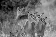 Herd of female Impalas in Kruger. Stock Image