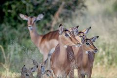 Herd of female Impalas in Kruger. Royalty Free Stock Photography
