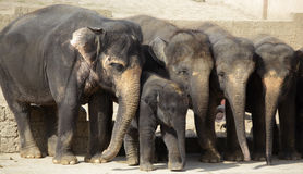 Herd of female indian elephants with calf Stock Image