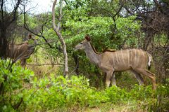 A herd of female kudus in the underwood stock photo