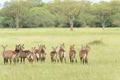 Herd of female Waterbuck. Kobus ellipsiprymnus, or `Kuru` in Swaheli in the Serengeti National park, Tanzania Stock Photography