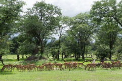 A herd of female and young impalas Royalty Free Stock Photo