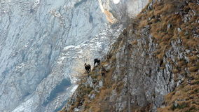 Herd of  females chamois with kids on rock scenery. stock footage