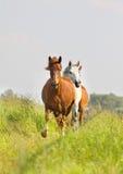 Herd in field Stock Image